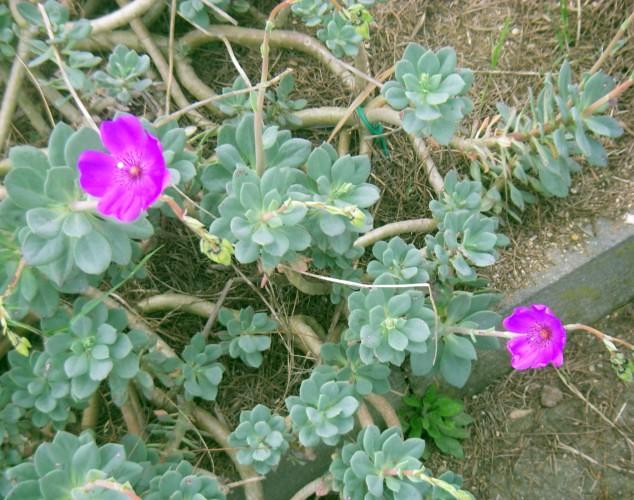 Calandrinia crassifolia en flor (1-5-11 Botánico de Barcelona)