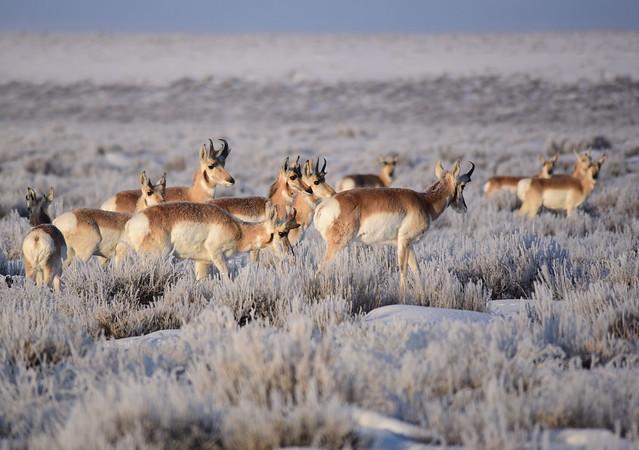 Pronghorn on Seedskadee National Wildlife Refuge