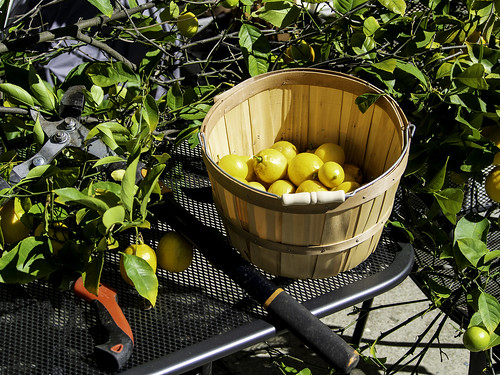 Pruning and Harvesting Lemons | by T. Christensen