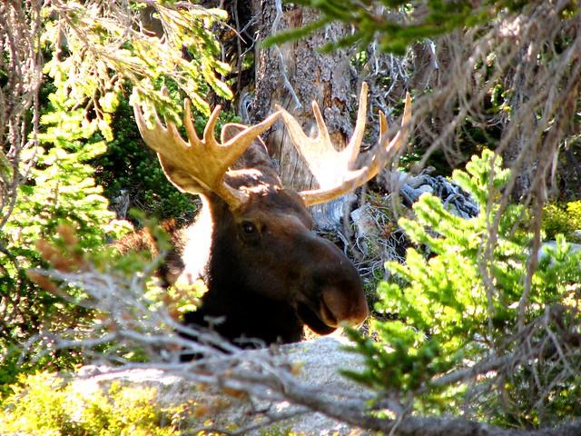 Moose in Indian Peaks Wilderness Area, Colorado
