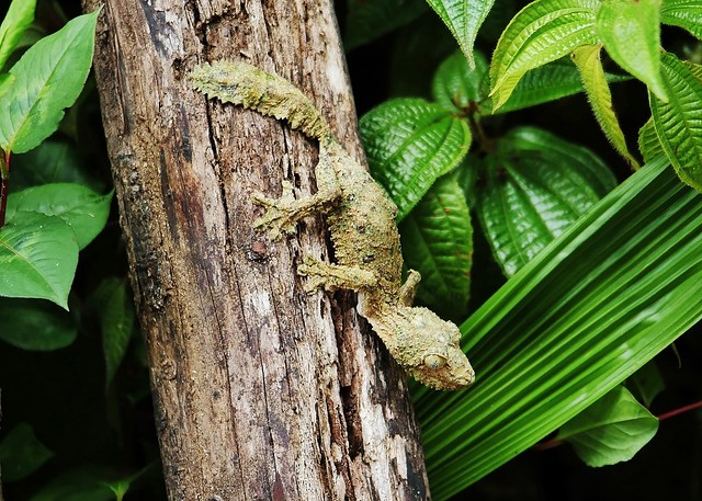 Leaf tailed Gecko Or Flat tailed Gecko