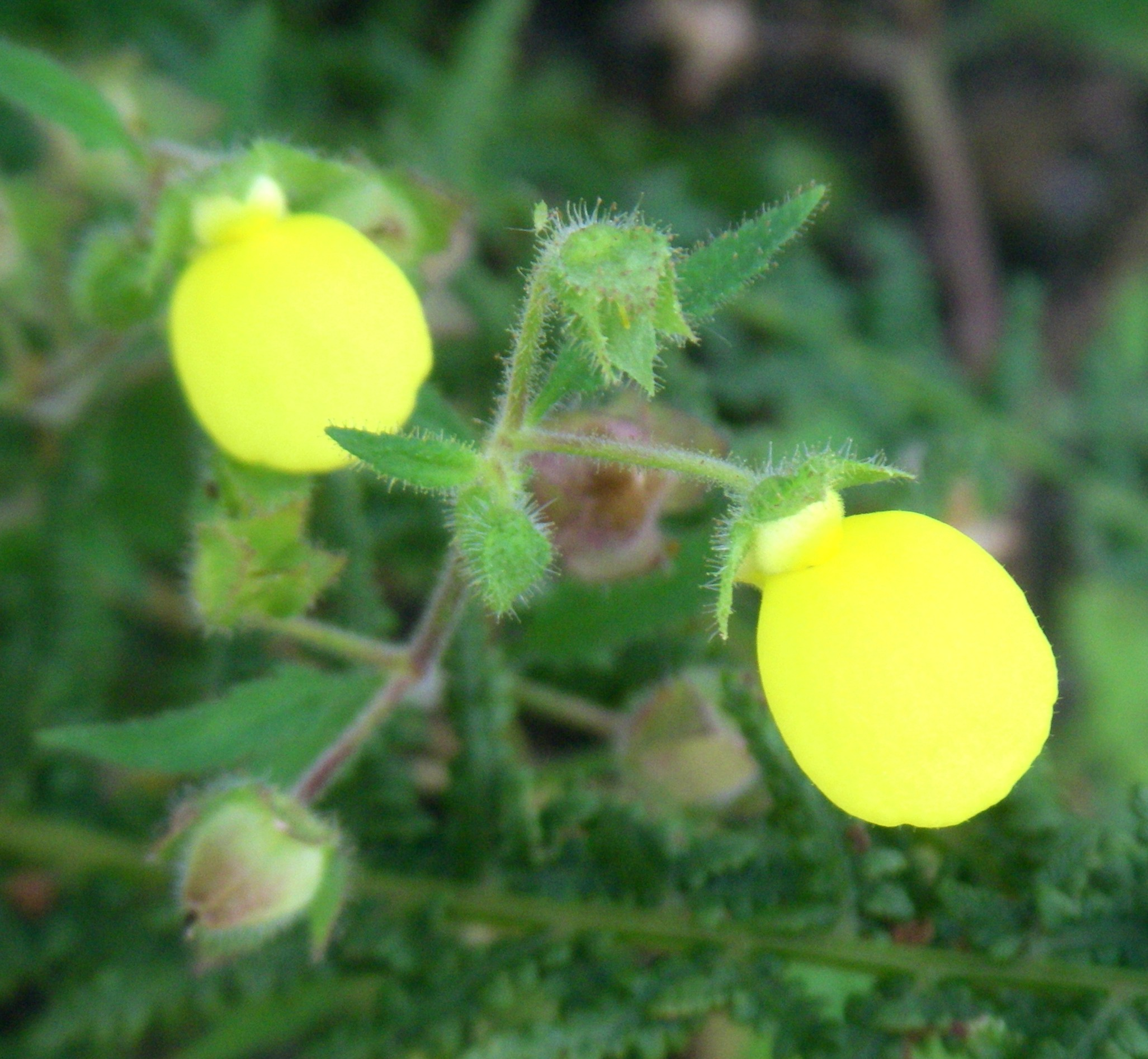 Calceolaria tripartita 47519527962_63df21b2b8_o