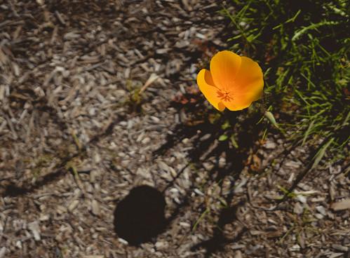 Lone Poppy | by CopyCatFilms