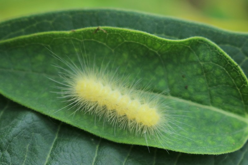 A short caterpillar with segments that look like bubbles, and lots of hairs that look sharp.