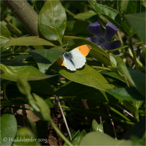 Orange tip | by Huddsbirder