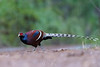 Mrs. Hume's Pheasant (Syrmaticus humiae) 黑頸長尾雉 by Nelson Wong Wildlife