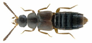 Dochmonota clancula (Erichson, 1837)   by urjsa