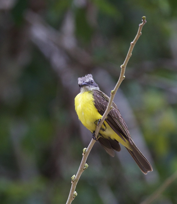 Gray-capped Flycatcher, Myiozetetes granadensis Ascanio_Peruvian Amazon 199A6782