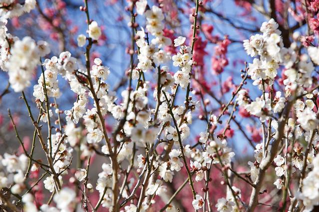 熱海梅園 Atami Plum Park