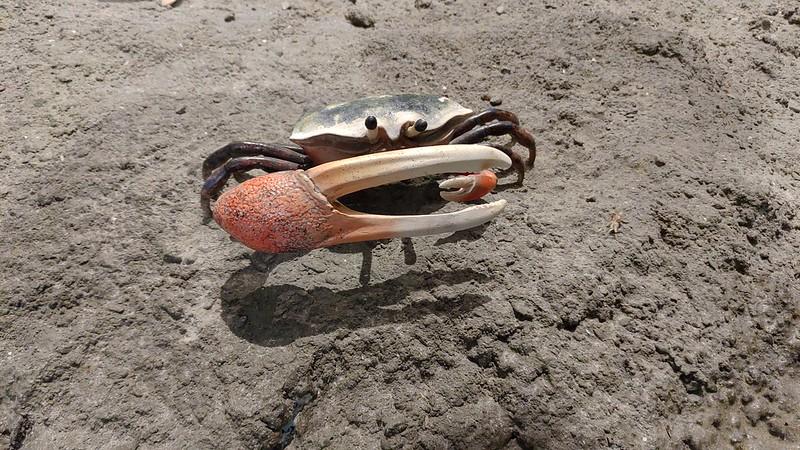 放大後的網紋招潮蟹栩栩如生。台江國家公園管理處提供。