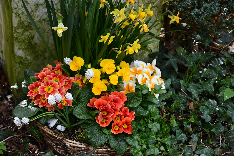Primrose and Pansies and daffodils