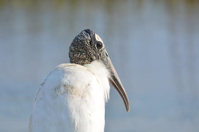 Wood Stork. Heritage River Road. Jacksonville, FL.