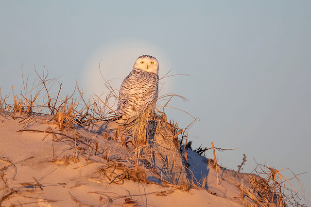 Queen ( or King) of the dunes...