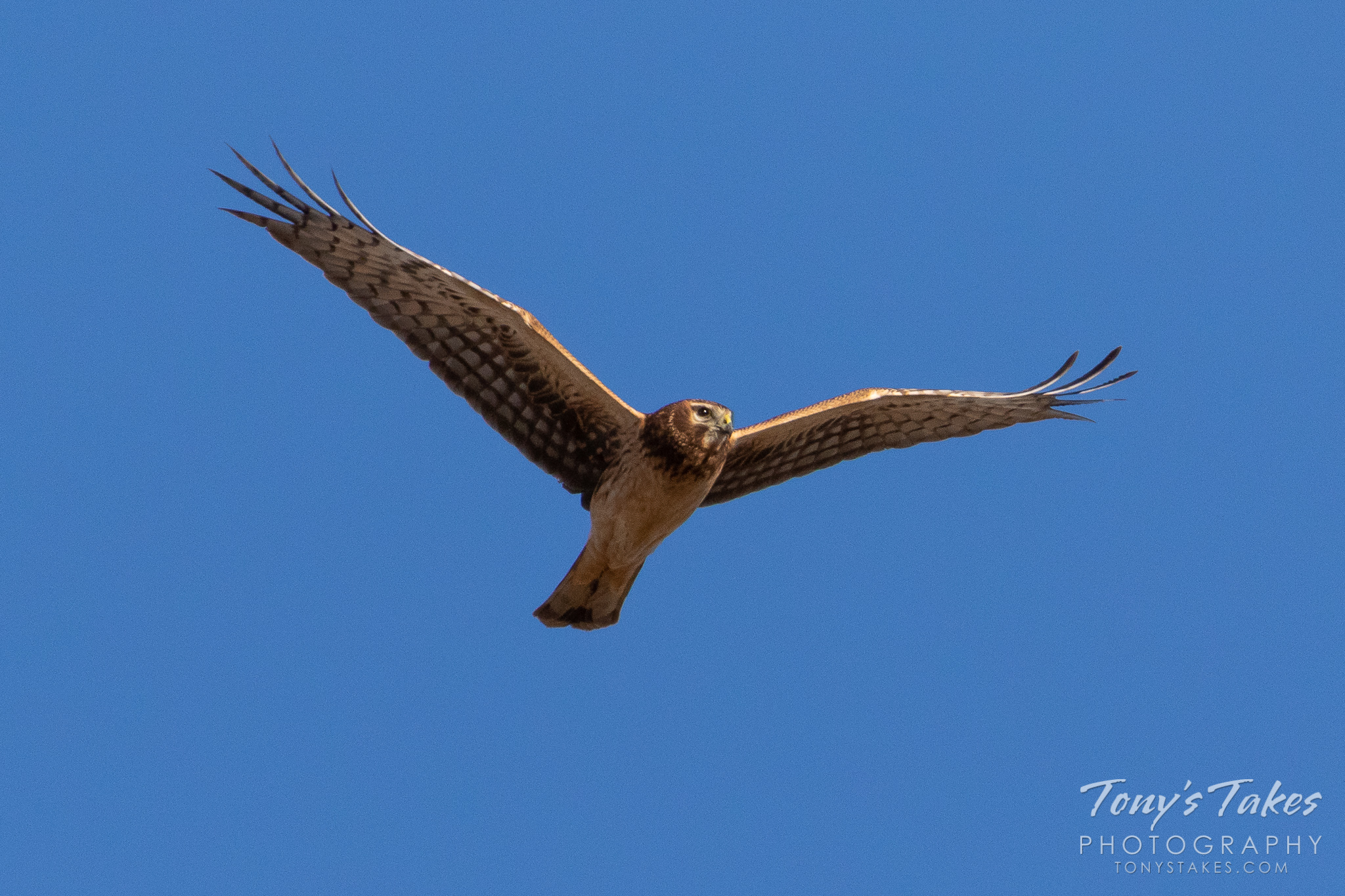 A female Northern Harrier performs a flyby in eastern Colorado. (© Tony's Takes)