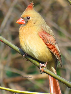 female cardinal6 | by Patricia Pierce