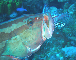 HEADFIRST Lionfish eaten by Grouper