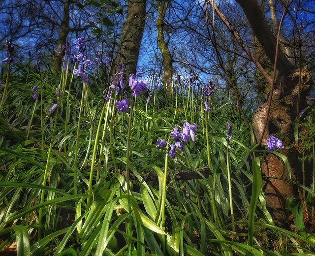 Springtime woodland, Congleton