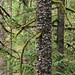 The bark of the Spruce tree at Little Qualicum Falls on Vancouver Island