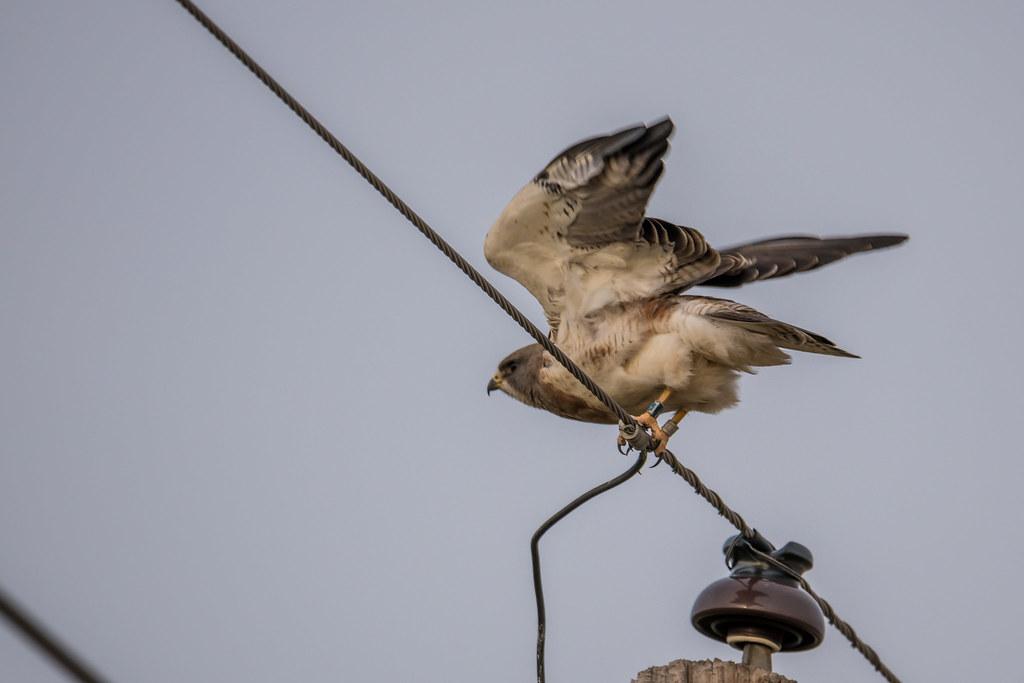 Peregrin Falcon for flicker-2