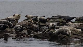 Harbor Seals at Sandy Hook, NJ | by jmfuscophotos