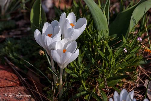 Spring Cheer   by John H Bowman