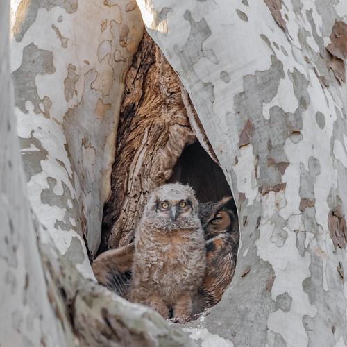 greathornedowl owl owlet wing raptor bird birdwatching birding birds birdofprey birdphotography sigma150600sport sigma nature nikond500 nikon mountjoy pennsylvania