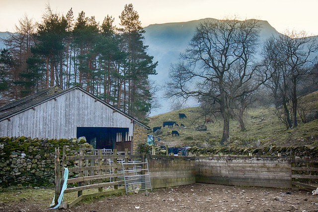 Barn and cows.