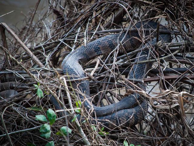 Snakes Nesting