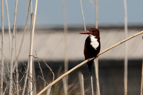 White-breasted Kingfisher (33) | by nomadbirder