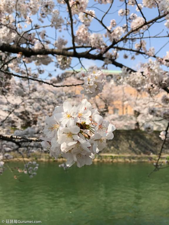 打工度假-京都生活-賞花、野餐-018