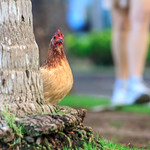Stalking Chickens in Waikiki