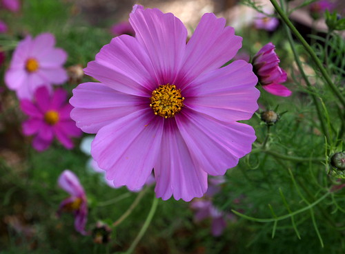 2019 April Cosmos Pink 1000 | by Meesie44