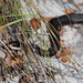 Flickr photo 'Southern Black Racer, Coluber constrictor priapus Dunn & Wood, 1939' by: Misenus1.