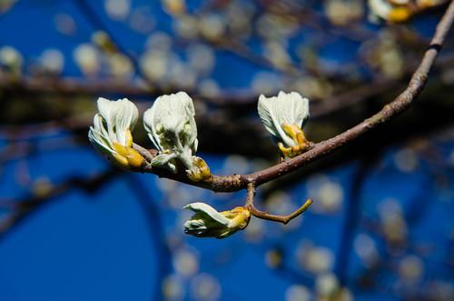 Whitebeam, leaves beginning to open