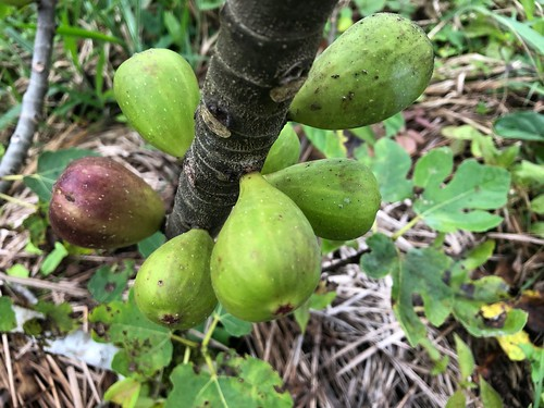 organic figs from farm to table   by yago1.com