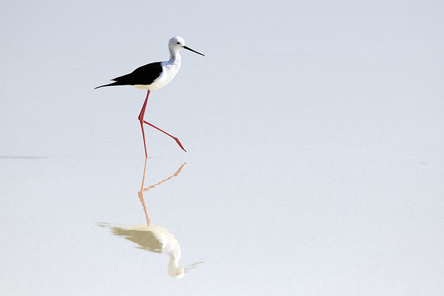 Thailand: Black-winged Stilt at Salt Pans 2