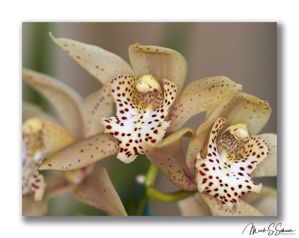 Orchids at the missouri botanical garden 2019 orchid show - Orchid show missouri botanical garden ...