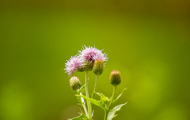 Le chardon mauve - The purple thistle
