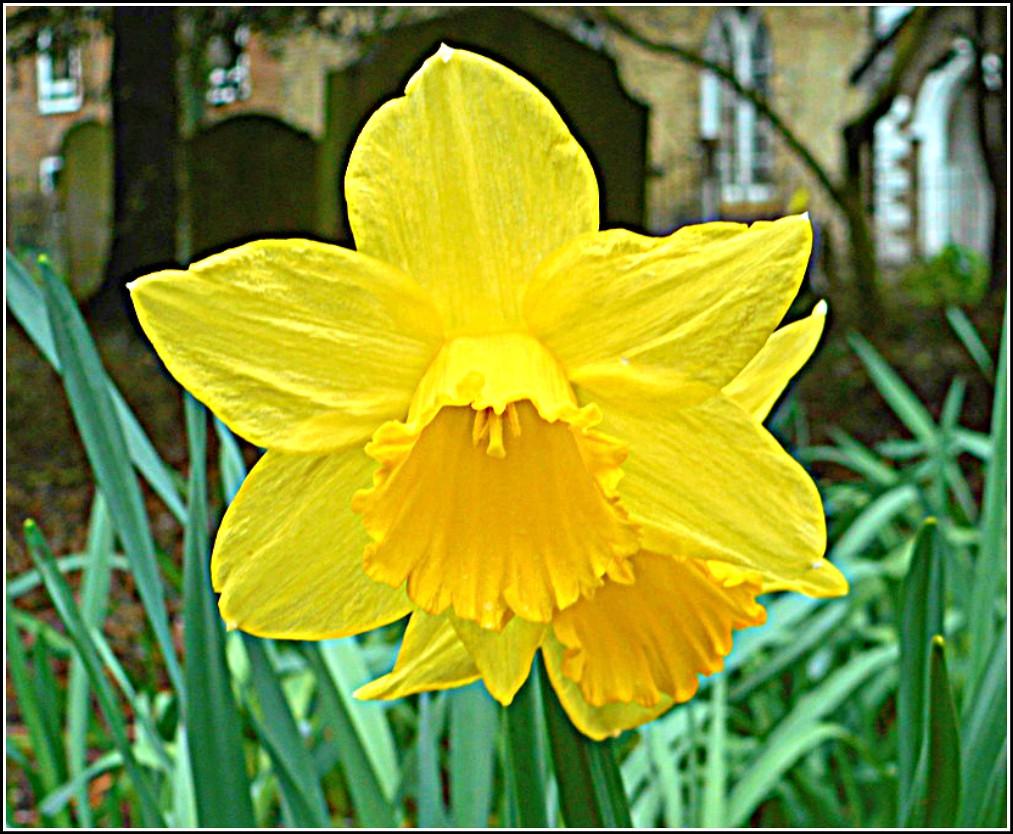 Lone Daffodil ...