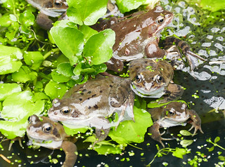 Frogs and Spawn Mar18 2019 | by http://wildaboutthebritishisles.uk