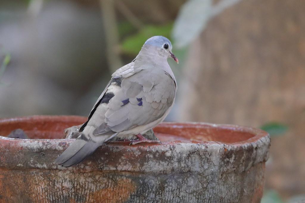 Blue-spotted Wood-dove  Turtur afer