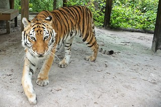 Cassie, a Bengal Tiger - Lions, Tigers & Bears Inc., Arcadia, Fla., April 14, 2019 | by JenniferHuber