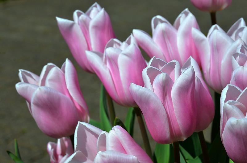 Обои макро, тюльпаны, бутоны картинки на рабочий стол, раздел цветы - скачать