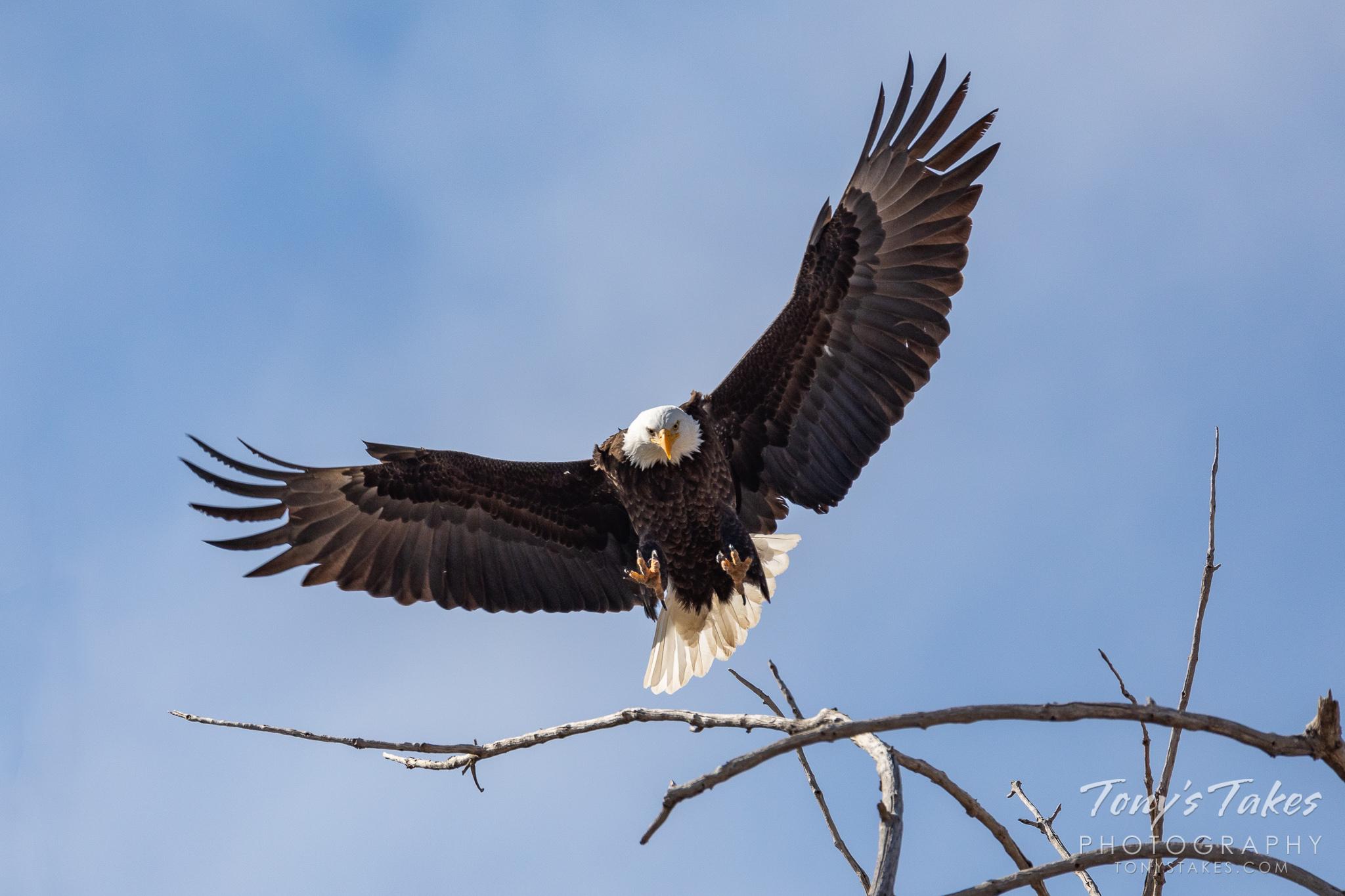 A bald eagle prepares to land in Adams County, Colorado. (© Tony's Takes)