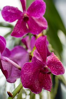 Kew Gardens Orchids-41 | by adambowie