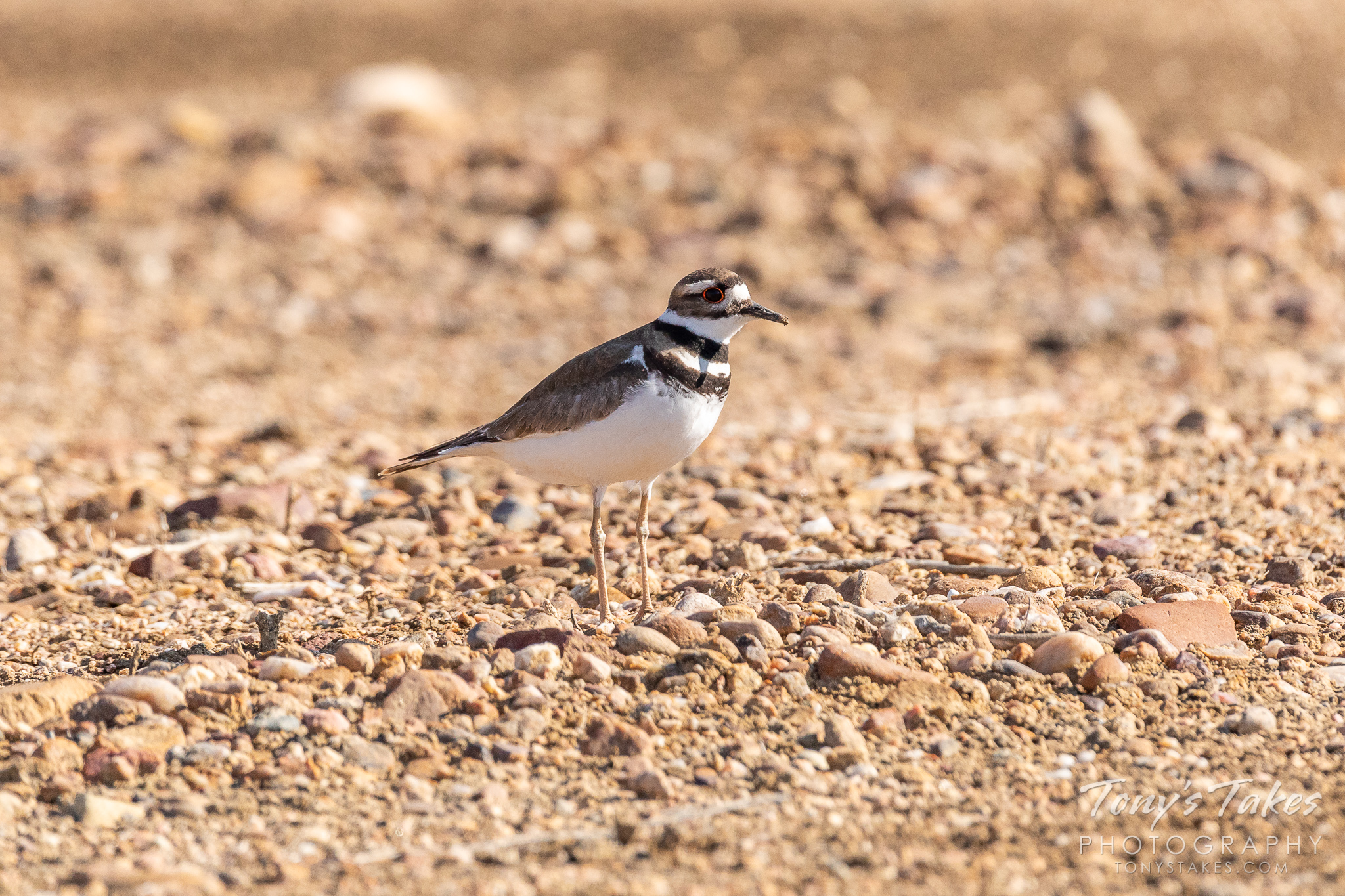 A killdeer in northern Colorado. (© Tony's Takes)