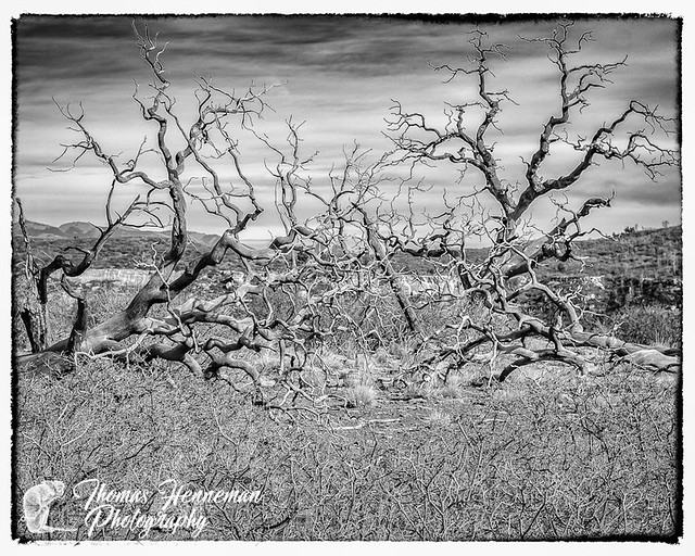 A Tangle of Dead Trees