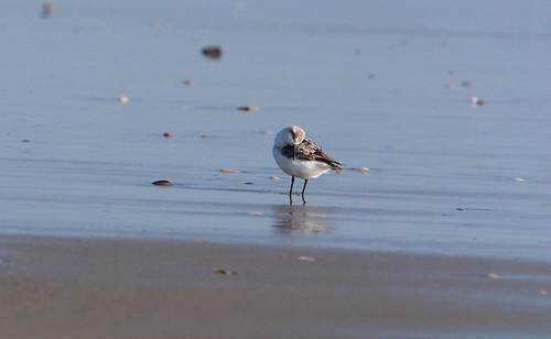 oceancity sanderling bird birding shore beach aquatic wildlife nature canon rebel soothing calm water reflection