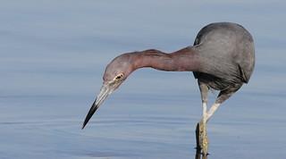 Little Blue Heron, Hudson Beach   by Vince Capp