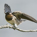 D521259 Barn Swallow